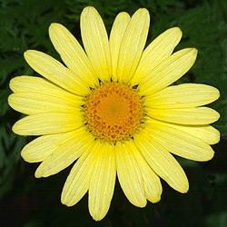 definition of argyranthemum