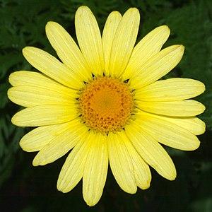 Argyranthemum - Argyranthemum frutescens