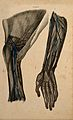 Arm and shoulder; two figures of a dissection, with blood ve Wellcome V0008390EL.jpg