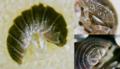 Armadillidium atticum specimen.png