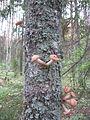 Armillaria mellea - Ural, Russia.JPG