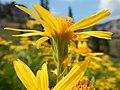 Arnica longifolia (29135005531).jpg
