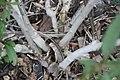 Asclepias curassavica 25zz.jpg
