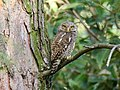 Asian Barred Owlet (Glaucidium cuculoides) (37338581120).jpg