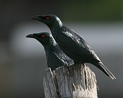 Asian glossy starling - breeding pair.jpg