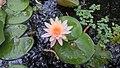 Asolla bhatti wildlife sanctuary-lily.jpg