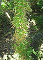 Asparagus scandens afrotemperate forest CapeTown1.jpg