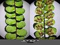 Asplenium trichomanes subsp. quadrivalens sl7.jpg