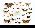 Assorted Moths (Lepidoptera) in the University of Texas Insect Collection (22281153644).jpg