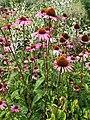 Asterales - Echinacea purpurea - 2.jpg