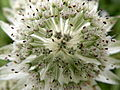 Astrantia major (14392417968).jpg