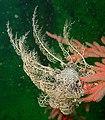 Astrocladus euryale 15766827 (cropped).jpg