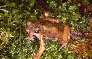 Cayenne stubfoot toad species of amphibian