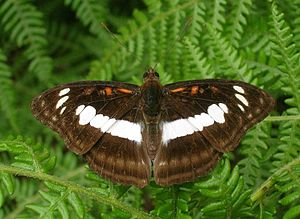 Tadiandamol - Tadiandamol butterfly (Tadiandamol neptis)