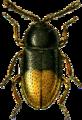 Atomaria mesomelaena Jacobson.png