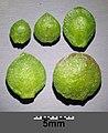 Atriplex micrantha sl61.jpg