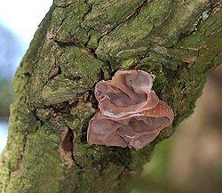 Auricularia auricula-judae a.JPG