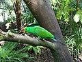 Australia Queensland parrot - panoramio.jpg