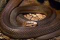 Australia Zoo Brown Snake-1 (9499371329).jpg