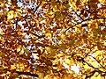 Autumn Foliage - geograph.org.uk - 600634.jpg