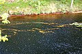Autumn Leaves of Gold on the River North Esk near Edzell - geograph.org.uk - 1008828.jpg