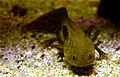 Axolotl Ambystoma mexicanum Aquarium Liège 30012016 3.jpg