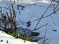 Bärlauch im Schnee.JPG