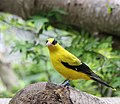 BLACK NAPED ORIOLE (8553658674).jpg