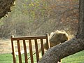 Baboons on the lawn - panoramio (8).jpg