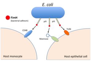 Bacterial adhesin - Image: Bacterial Adhesin Fim H host interaction