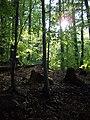 Badínsky prales, Primeval beech forest,.jpg