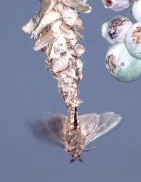 Bagworm Moths Mating