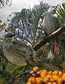 Bahama Mockingbird From The Crossley ID Guide Eastern Birds.jpg