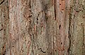 Baldcypress Taxodium distichum (32-0661-A) Trunk Bark.JPG