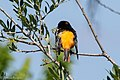 Baltimore Oriole (male) Smith Oaks High Island TX 2018-04-27 10-22-07 (42200199521).jpg