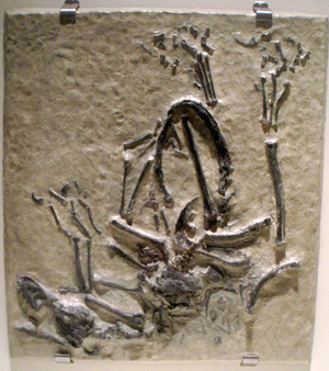 Bambiraptor - Cast of the fossil slab