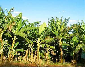 Banana plantation - A banana plantation in Brazil