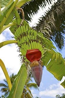 Atemberaubend Kochbanane – Wikipedia @TT_35