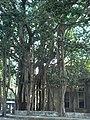 Banyan tree (348808575).jpg