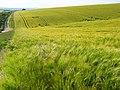 Barley, Chaldon Herring - geograph.org.uk - 848205.jpg