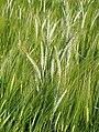 Barley - geograph.org.uk - 872684.jpg