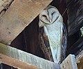 Barn Owl (35701166825).jpg