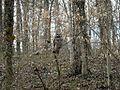 Barred Owl (Strix varia) - Flickr - Jay Sturner (1).jpg