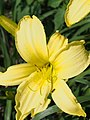 Baseline for Yellow Daylilies.jpg