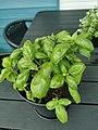 Basil plant in a pot 01.jpg