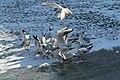 Bassin des Morts gelé, 2012-02-11, mouettes rieuses 01.jpg