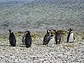 Beach Gathering Magellenic Penguin Falkland Islands.jpg