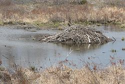 Beaver lodge, approx. 20-foot diameter. Ontario, Canada