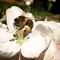 Bee (161835277).jpeg