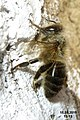 Bee at rest on wall (rp) (26793185600).jpg